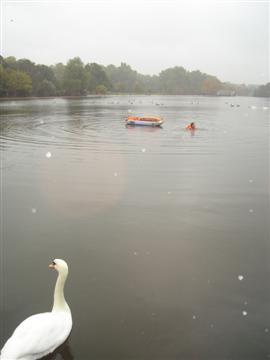 40150855-1-swan.jpg