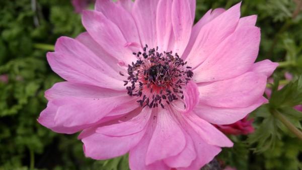 Flower captured by LG G4