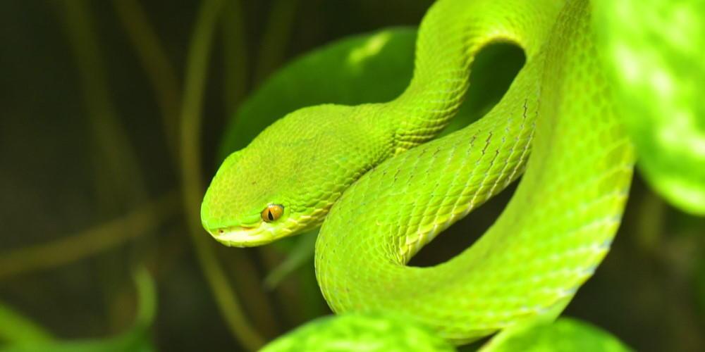 atheris squamigera, green bush viper