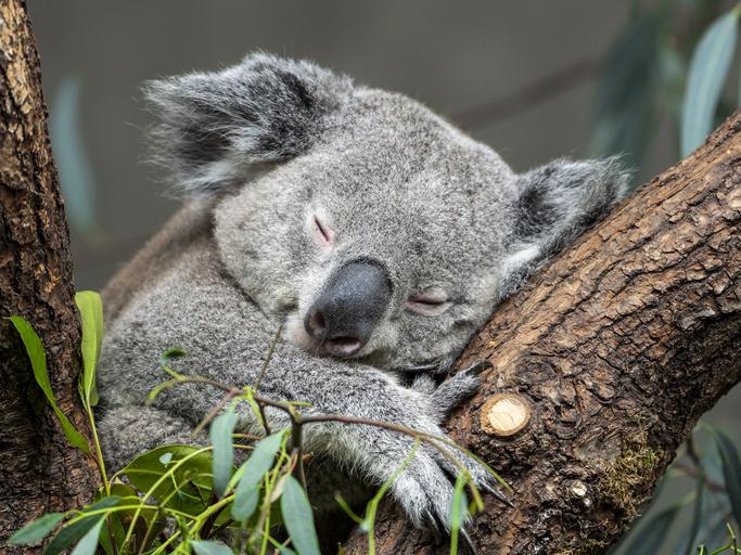 Drones et reconnaissance faciale pour sauver les koalas