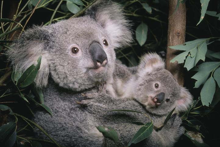 koala-gettyimages-a0034-000002.jpg