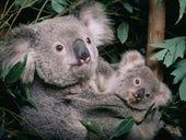 University of Sydney partners with AWS to establish a koala genome library