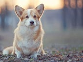 Advancing artificial intelligence: Microsoft deploys corgis to beat Google on imaging