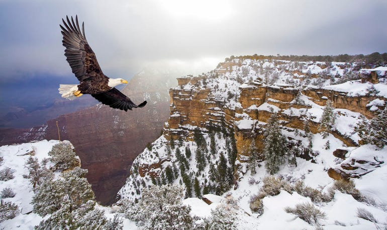 Bald eagle flying above the Grand Canyon