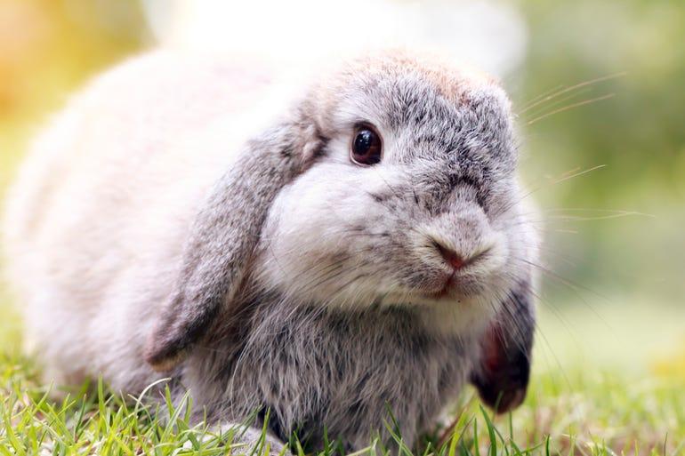 istock-mini-lop-bunny.jpg