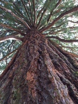 sequoia-tree-darmstadt-germany-cropped-june-2018-photo-by-joe-mckendrick.jpg