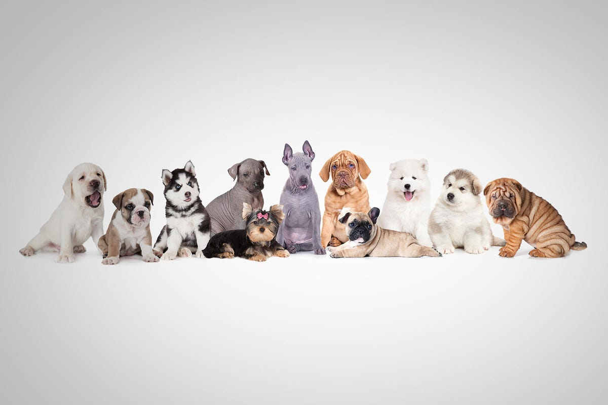 A large group of puppy dogs