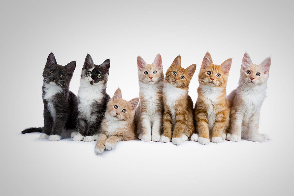 Group of seven maine coon cats / kittens looking at camera isolated on white background
