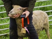 Internet of Sheep: Why world's biggest NB-IoT pilot is roping in woolly helpers