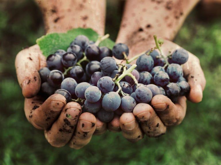 wine-grapes-hand.jpg