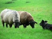 Sheep_and_sheep_dog (1)
