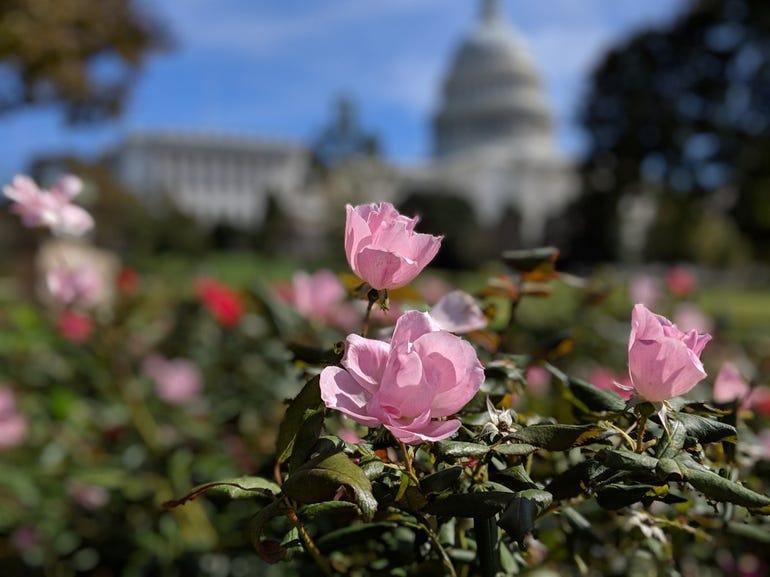 Portrait roses near the Capitol