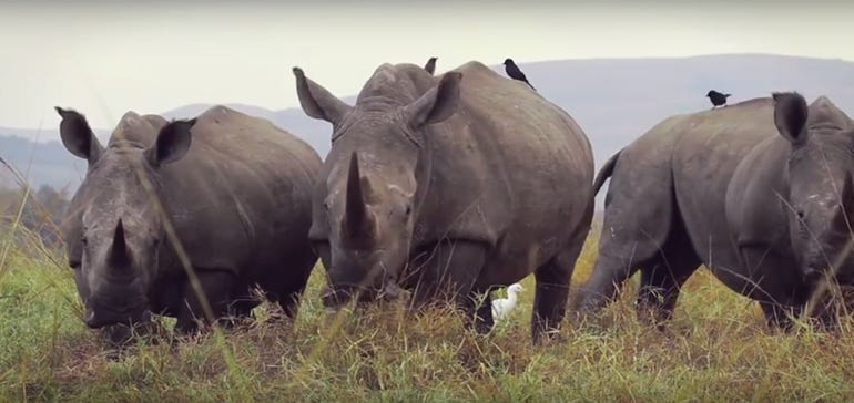 rhinos-in-south-africa.png