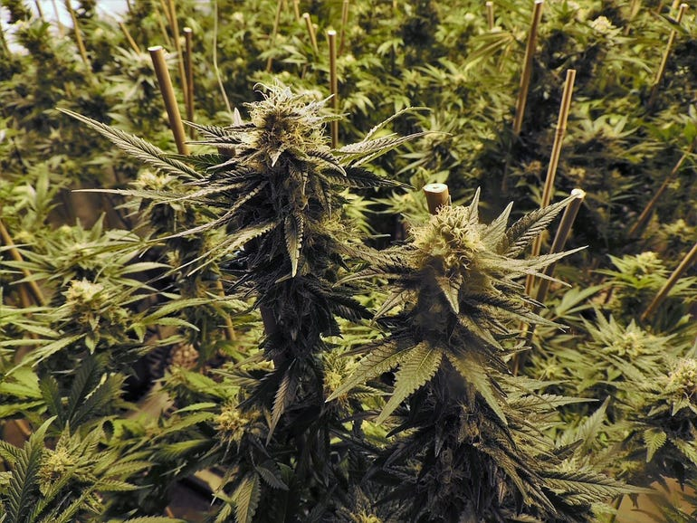 marijuana-1281540960720.jpg