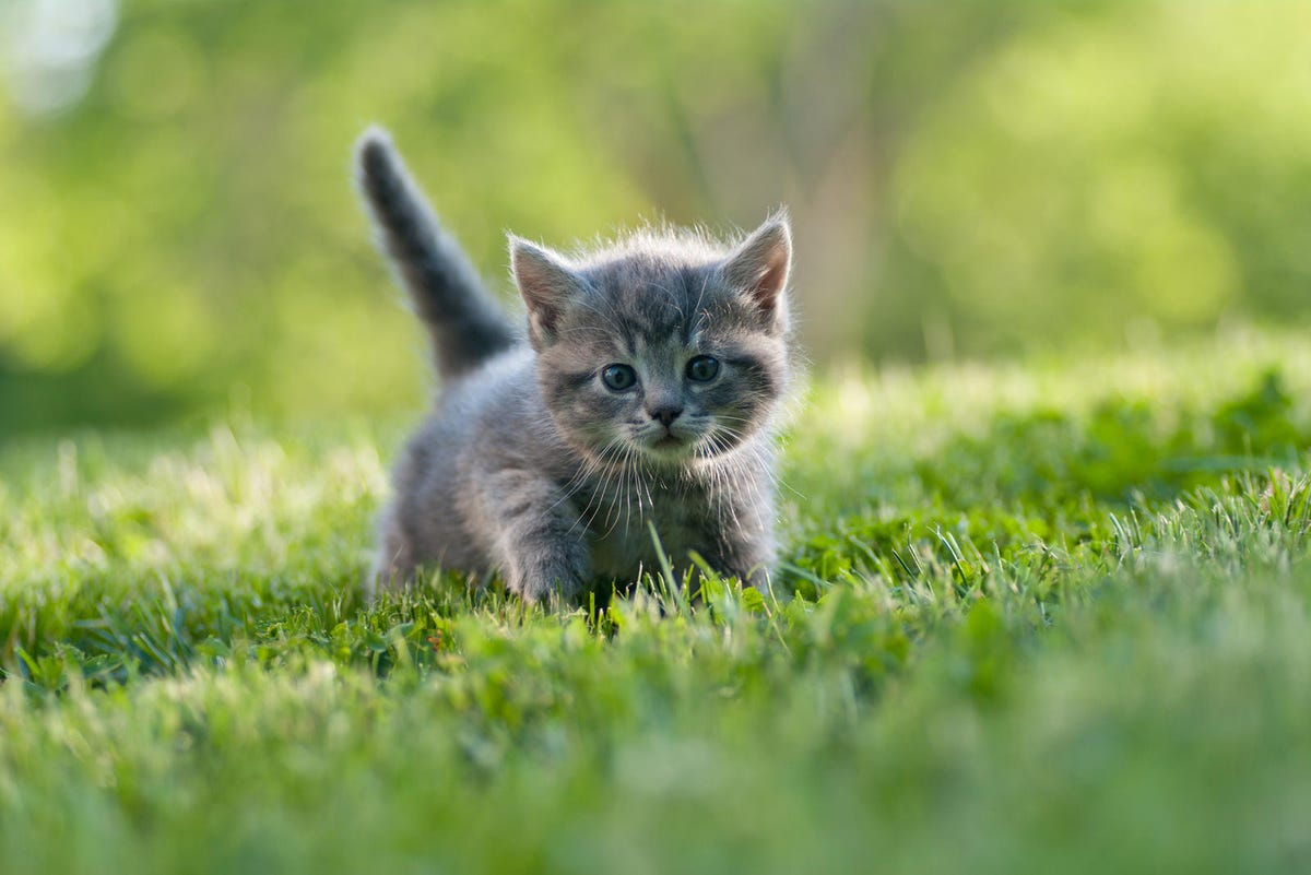 Small gray kitten with tail up walking on the grass