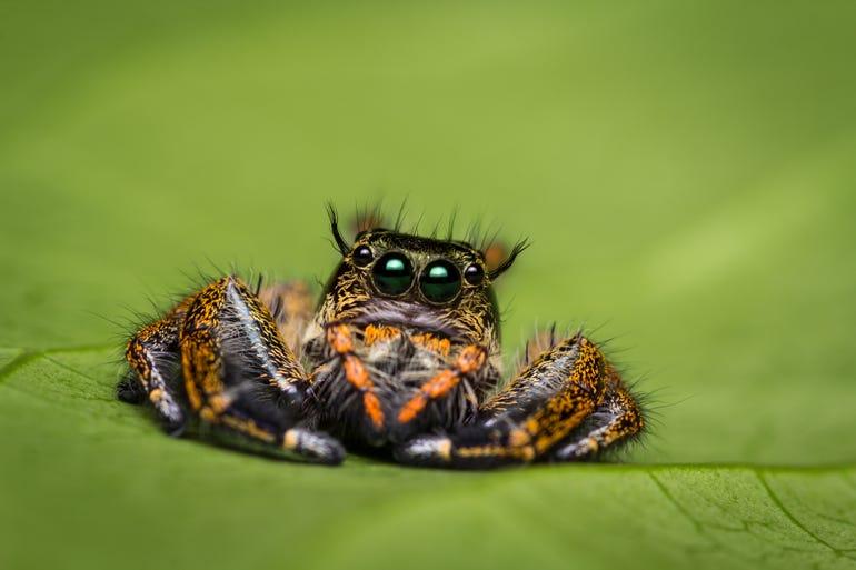jumper-spider-on-green-leaf.jpg