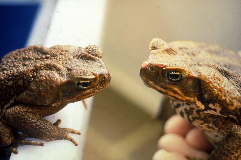 csiro-cane-toads.jpg