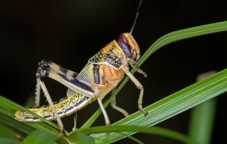 locusts-bomb-detectors-research.jpg