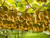 Global kiwifruit company Zespri signs five-year private cloud deal with SAP