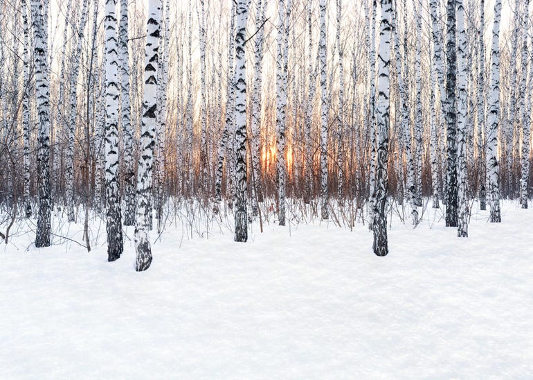 Birch forest at sunset