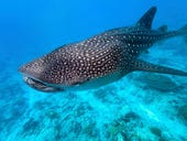 Scientists are using cloud computing and AI to track these mysterious, beautiful whale sharks