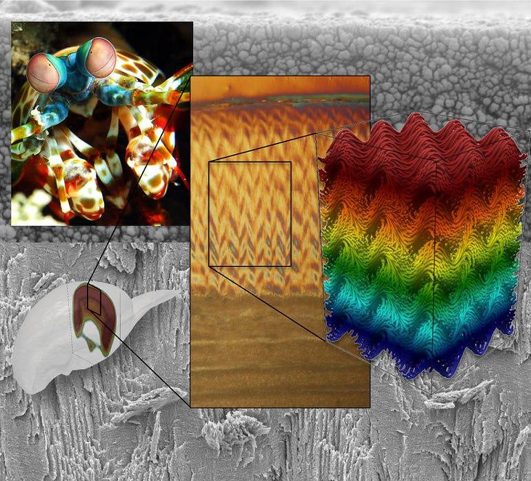 mantis-shrimp-graphic.png