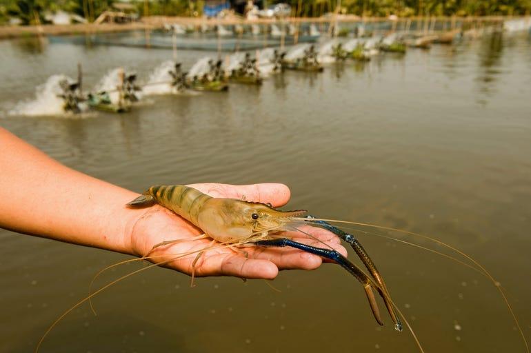 shrimpfarming.jpg