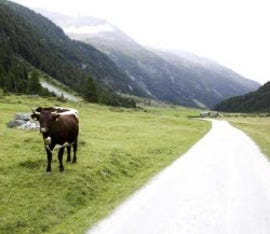 bovine-cattle-beside-road_w250